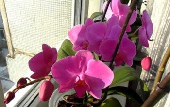 Хотите вырастить такую орхидею дома? Есть простое средство, которое Вам поможет